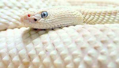 Mimpi bertemu ular putih