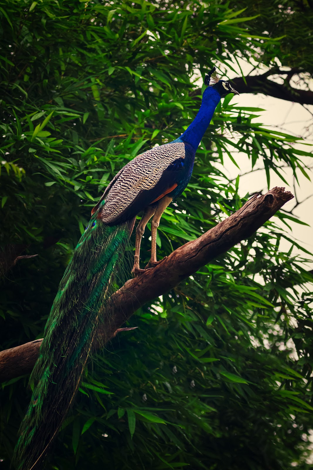 peacock-on-brown-tree-branch-pictures