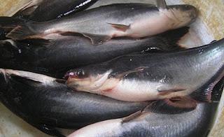 Cara Budidaya Ikan Patin Kolam Terpal Hemat Biaya Untung Besar