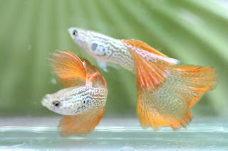Jual Guppy Red Thailand,  Harga Guppy Red Thailand,  Toko Guppy Red Thailand,  Diskon Guppy Red Thailand,  Beli Guppy Red Thailand,  Review Guppy Red Thailand,  Promo Guppy Red Thailand,  Spesifikasi Guppy Red Thailand,  Guppy Red Thailand Murah,  Guppy Red Thailand Asli,  Guppy Red Thailand Original,  Guppy Red Thailand Jakarta,  Jenis Guppy Red Thailand,  Budidaya Guppy Red Thailand,  Peternak Guppy Red Thailand,  Cara Merawat Guppy Red Thailand,  Tips Merawat Guppy Red Thailand,  Bagaimana cara merawat Guppy Red Thailand,  Bagaimana mengobati Guppy Red Thailand,  Ciri-Ciri Hamil Guppy Red Thailand,  Kandang Guppy Red Thailand,  Ternak Guppy Red Thailand,  Makanan Guppy Red Thailand,  Guppy Red Thailand Termahal,  Adopsi Guppy Red Thailand,  Jual Cepat Guppy Red Thailand,  Guppy Red Thailand  Jakarta,  Guppy Red Thailand  Bandung,  Guppy Red Thailand  Medan,  Guppy Red Thailand  Bali,  Guppy Red Thailand  Makassar,  Guppy Red Thailand  Jambi,  Guppy Red Thailand  Pekanbaru,  Guppy Red Thailand  Palembang,  Guppy Red Thailand  Sumatera,  Guppy Red Thailand  Langsa,  Guppy Red Thailand  Lhokseumawe,  Guppy Red Thailand  Meulaboh,  Guppy Red Thailand  Sabang,  Guppy Red Thailand  Subulussalam,  Guppy Red Thailand  Denpasar,  Guppy Red Thailand  Pangkalpinang,  Guppy Red Thailand  Cilegon,  Guppy Red Thailand  Serang,  Guppy Red Thailand  Tangerang Selatan,  Guppy Red Thailand  Tangerang,  Guppy Red Thailand  Bengkulu,  Guppy Red Thailand  Gorontalo,  Guppy Red Thailand  guppy,  Guppy Red Thailand  tropical fish,  Guppy Red Thailand  aquarium fish,  Guppy Red Thailand  bubble guppies games,  Guppy Red Thailand  guppy fish,  Guppy Red Thailand  bubble guppies videos,  Guppy Red Thailand  bubble guppies episodes,  Guppy Red Thailand  bubble guppies full episodes,  Guppy Red Thailand  super guppy,  Guppy Red Thailand  bubble guppies cast,  Guppy Red Thailand  aquarium online,  Guppy Red Thailand  bubble guppies songs,  Guppy Red Thailand  tetra aquarium,  Guppy Red Thailand  guppies for sale,  Guppy Red Thailand  pregnant guppy,  Guppy Red Thailand  bubble guppies characters,  Guppy Red Thailand  bubble guppy,  Guppy Red Thailand  bubble guppies names,  Guppy Red Thailand  guppies fish,  Guppy Red Thailand  guppy breeding,  Guppy Red Thailand  breeding guppies,  Guppy Red Thailand  bubble guppie,  Guppy Red Thailand  nick jr bubble guppies,  Guppy Red Thailand  bubble guppies coloring pages,  Guppy Red Thailand  bubble guppies video,  Guppy Red Thailand  bubble guppy games,  Guppy Red Thailand  guppy aquarium,  Guppy Red Thailand  guppy care,  Guppy Red Thailand  baby guppies,  Guppy Red Thailand  design aquarium,  Guppy Red Thailand  how to breed guppies,  Guppy Red Thailand  endlers guppy,  Guppy Red Thailand  bubble guppies wiki,  Guppy Red Thailand  bubble guppies game,  Guppy Red Thailand  guppies care,  Guppy Red Thailand  guppy fry,  Guppy Red Thailand  male guppies,  Guppy Red Thailand  buble guppies,  Guppy Red Thailand  guppy fish care,  Guppy Red Thailand  female guppies,  Guppy Red Thailand  female guppy,  Guppy Red Thailand  guppy tank,  Guppy Red Thailand  types of guppies,  Guppy Red Thailand  online aquarium,  Guppy Red Thailand  guppies aquarium,  Guppy Red Thailand  pregnant guppies,  Guppy Red Thailand  guppy giving birth,  Guppy Red Thailand  what do guppies eat,  Guppy Red Thailand  guppy life span,  Guppy Red Thailand  guppy pond,  Guppy Red Thailand  guppy grass,  Guppy Red Thailand  guppies breeding,  Guppy Red Thailand  aquarium guppy,  Guppy Red Thailand  guppies giving birth,  Guppy Red Thailand  bubble guppies pictures,  Guppy Red Thailand  bubble guppies show,  Guppy Red Thailand  male guppy,  Guppy Red Thailand  guppy fish for sale,  Guppy Red Thailand  pregnant guppy fish,  Guppy Red Thailand  endler guppies,  Guppy Red Thailand  guppy babies,  Guppy Red Thailand  the bubble guppies,  Guppy Red Thailand  bubble guppies images,  Guppy Red Thailand  bubble guppies bubble puppy,  Guppy Red Thailand  guppy food,  Guppy Red Thailand  ferplast aquarium,  Guppy Red Thailand  guppy temperature,  Guppy Red Thailand  the binding isaac,  Guppy Red Thailand  guppy tail,  Guppy Red Thailand  the rebirth of isaac,  Guppy Red Thailand  the binding of isaac rebirth guppy,  Guppy Red Thailand  isaac the game,  Guppy Red Thailand  guppie fish,  Guppy Red Thailand  guppy fish breeding,  Guppy Red Thailand  guppy for sale,  Guppy Red Thailand  guppy tank mates,  Guppy Red Thailand  aquarium shop online,  Guppy Red Thailand  guppy gestation,  Guppy Red Thailand  the binding of isaac guppy,  Guppy Red Thailand  keeping guppies,  Guppy Red Thailand  guppy definition,  Guppy Red Thailand  guppy meaning,  Guppy Red Thailand  guppy breathing,  Guppy Red Thailand  fish tropical,  Guppy Red Thailand  endlers guppies,  Guppy Red Thailand  baby guppy,  Guppy Red Thailand  nickelodeon bubble guppies,  Guppy Red Thailand  guppy fish tank,  Guppy Red Thailand  guppy types,  Guppy Red Thailand  guppy fish types,  Guppy Red Thailand  guppy diseases,  Guppy Red Thailand  the binding of isaac 2,  Guppy Red Thailand  isaac the binding,  Guppy Red Thailand  wild guppies,  Guppy Red Thailand  wild guppy,  Guppy Red Thailand  fantail guppies,  Guppy Red Thailand  guppy pregnancy,  Guppy Red Thailand  lyretail guppy,  Guppy Red Thailand  pregnant guppy stages,  Guppy Red Thailand  guppy pregnant,  Guppy Red Thailand  male and female guppies,  Guppy Red Thailand  bubble guppys,  Guppy Red Thailand  guppy birth,  Guppy Red Thailand  do guppies need a heater,  Guppy Red Thailand  pictures of guppies,  Guppy Red Thailand  guppy fish life span,  Guppy Red Thailand  guppy water temperature,  Guppy Red Thailand  show guppies,  Guppy Red Thailand  black guppy,  Guppy Red Thailand  red guppy,  Guppy Red Thailand  binding isaac wiki,  Guppy Red Thailand  binding of isaac 2,  Guppy Red Thailand  moscow guppy,  Guppy Red Thailand  guppy forum,  Guppy Red Thailand  guppies online,  Guppy Red Thailand  fantail guppy,  Guppy Red Thailand  yellow guppy,  Guppy Red Thailand  snakeskin guppy,  Guppy Red Thailand  guppy fry growth chart,  Guppy Red Thailand  guppy fish food,  Guppy Red Thailand  temperature for guppies,  Guppy Red Thailand  water temperature for guppies,  Guppy Red Thailand  guppy games,  Guppy Red Thailand  black moscow guppy,  Guppy Red Thailand  full red guppy,  Guppy Red Thailand  blue moscow guppy,  Guppy Red Thailand  game isaac,  Guppy Red Thailand  male guppy fish,  Guppy Red Thailand  guppy varieties,  Guppy Red Thailand  albino guppy,  Guppy Red Thailand  guppy pregnancy stages,  Guppy Red Thailand  tequila sunrise guppy,  Guppy Red Thailand  guppy fin rot,  Guppy Red Thailand  guppy genetics,  Guppy Red Thailand  pink guppy,  Guppy Red Thailand  the guppy,  Guppy Red Thailand  highland guppy,  Guppy Red Thailand  guppy breeding tank,  Guppy Red Thailand  guppy breeds,  Guppy Red Thailand  show guppies for sale,  Guppy Red Thailand  guppies for sale uk,  Guppy Red Thailand  is my guppy pregnant,  Guppy Red Thailand  guppies having babies,  Guppy Red Thailand  guppy female,  Guppy Red Thailand  guppy fry care,  Guppy Red Thailand  do guppies need a filter,  Guppy Red Thailand  do guppies eat their babies,  Guppy Red Thailand  do guppies sleep,  Guppy Red Thailand  aquarium 40 liter,  Guppy Red Thailand  guppy game,  Guppy Red Thailand  neon guppies,  Guppy Red Thailand  neon guppy,  Guppy Red Thailand  guppy neon,  Guppy Red Thailand  isaac of binding,  Guppy Red Thailand  moscow blue guppy,  Guppy Red Thailand  guppy tail rot,  Guppy Red Thailand  isaac the rebirth,  Guppy Red Thailand  fish guppies,  Guppy Red Thailand  guppies dying,  Guppy Red Thailand  guppy species,  Guppy Red Thailand  guppy gravid spot,  Guppy Red Thailand  the of isaac,  Guppy Red Thailand  breeding guppies for beginners,  Guppy Red Thailand  guppy breeding cycle,  Guppy Red Thailand  female guppies for sale,  Guppy Red Thailand  guppies pregnant,  Guppy Red Thailand  pregnant female guppy,  Guppy Red Thailand  caring for guppies,  Guppy Red Thailand  guppies babies,  Guppy Red Thailand  guppy fry growth,  Guppy Red Thailand  guppy tank setup,  Guppy Red Thailand  guppy fish giving birth,  Guppy Red Thailand  guppy fry food,  Guppy Red Thailand  different types of guppies,  Guppy Red Thailand  types of guppy,  Guppy Red Thailand  guppy pictures,  Guppy Red Thailand  aquarium voor beginners,  Guppy Red Thailand  guppy life cycle,  Guppy Red Thailand  guppies temperature,  Guppy Red Thailand  guppy gestation period,  Guppy Red Thailand  the binding of the isaac,  Guppy Red Thailand  feeding guppies,  Guppy Red Thailand  guppi fish,  Guppy Red Thailand  guppy fish facts,  Guppy Red Thailand  guppy breeders,  Guppy Red Thailand  guppy wiki,  Guppy Red Thailand  freshwater guppies,  Guppy Red Thailand  rare guppies,  Guppy Red Thailand  raising guppies,  Guppy Red Thailand  guppy colors,  Guppy Red Thailand  guppy strains,  Guppy Red Thailand  guppy size,  Guppy Red Thailand  turquoise guppy,  Guppy Red Thailand  leopard guppy,  Guppy Red Thailand  guppy love,  Guppy Red Thailand  guppy images,  Guppy Red Thailand  guppy plant,  Guppy Red Thailand  water temp for guppies,  Guppy Red Thailand  guppy breeding setup,  Guppy Red Thailand  guppies for sale online,  Guppy Red Thailand  guppys aquarium,  Guppy Red Thailand  guppy fish pregnant,  Guppy Red Thailand  guppy care sheet,  Guppy Red Thailand  endler guppy hybrid,  Guppy Red Thailand  baby guppy fish,  Guppy Red Thailand  female guppy fish,  Guppy Red Thailand  bubble guppies nickelodeon,  Guppy Red Thailand  guppy tanks,  Guppy Red Thailand  guppies food,  Guppy Red Thailand  best food for guppies,  Guppy Red Thailand  tropical guppies,  Guppy Red Thailand  black guppy fish,  Guppy Red Thailand  black moscow guppies,  Guppy Red Thailand  gestation period for guppies,  Guppy Red Thailand  blue neon guppy,  Guppy Red Thailand  red mosaic guppy,  Guppy Red Thailand  betta and guppies,  Guppy Red Thailand  guppy fishes,  Guppy Red Thailand  fish compatible with guppies,  Guppy Red Thailand  what is a guppy fish,  Guppy Red Thailand  guppy s,  Guppy Red Thailand  guppy guppy,  Guppy Red Thailand  guppy facts,  Guppy Red Thailand  guppy behavior,  Guppy Red Thailand  green guppy,  Guppy Red Thailand  white guppy,  Guppy Red Thailand  guppy dropsy,  Guppy Red Thailand  purple guppy,  Guppy Red Thailand  bloated guppy,  Guppy Red Thailand  angelfish and guppies,  Guppy Red Thailand  fin rot guppy,  Guppy Red Thailand  guppies keep dying,  Guppy Red Thailand  mollies and guppies,  Guppy Red Thailand  stages of guppy pregnancy,  Guppy Red Thailand  south african guppies,  Guppy Red Thailand  mosaic guppy,  Guppy Red Thailand  guppy cartoon,  Guppy Red Thailand  breeding guppy,  Guppy Red Thailand  aquarium guppies,  Guppy Red Thailand  pregnant guppie,  Guppy Red Thailand  female guppy pregnant,  Guppy Red Thailand  guppy tank size,  Guppy Red Thailand  guppies tank mates,  Guppy Red Thailand  do guppies give live birth,  Guppy Red Thailand  buy guppies,  Guppy Red Thailand  food for guppies,  Guppy Red Thailand  types of guppy fish,  Guppy Red Thailand  guppy disease,  Guppy Red Thailand  tropical fish guppies,  Guppy Red Thailand  black guppies,  Guppy Red Thailand  guppy black,  Guppy Red Thailand  red guppies,  Guppy Red Thailand  red guppy fish,  Guppy Red Thailand  moscow guppies,  Guppy Red Thailand  guppies and bettas,  Guppy Red Thailand  guppy fish information,  Guppy Red Thailand  guppy fish images,  Guppy Red Thailand  all about guppies,  Guppy Red Thailand  guppy breeder,  Guppy Red Thailand  guppys online,  Guppy Red Thailand  guppy poecilia reticulata,  Guppy Red Thailand  guppy a,  Guppy Red Thailand  purple guppies,  Guppy Red Thailand  beautiful guppies,  Guppy Red Thailand  guppy pdf,  Guppy Red Thailand  guppy swimming vertically,  Guppy Red Thailand  guppy names,  Guppy Red Thailand  yellow guppies,  Guppy Red Thailand  male guppies fighting,  Guppy Red Thailand  guppies and tetras,  Guppy Red Thailand  saltwater guppies,  Guppy Red Thailand  guppies and mollies,  Guppy Red Thailand  the guppies,  Guppy Red Thailand  breeding guppies in community tank,  Guppy Red Thailand  breed guppies,  Guppy Red Thailand  live guppies for sale,  Guppy Red Thailand  guppies fish for sale,  Guppy Red Thailand  breeding guppies for profit,  Guppy Red Thailand  guppies aquarium products,  Guppy Red Thailand  taking care of guppies,  Guppy Red Thailand  guppies fish care,  Guppy Red Thailand  john endler guppies,  Guppy Red Thailand  guppy fish babies,  Guppy Red Thailand  male and female guppy,  Guppy Red Thailand  guppy fry development,  Guppy Red Thailand  guppy fry stages,  Guppy Red Thailand  guppies fish tank,  Guppy Red Thailand  guppies tank,  Guppy Red Thailand  guppy fry tank,  Guppy Red Thailand  female guppy giving birth,  Guppy Red Thailand  pregnant guppy giving birth,  Guppy Red Thailand  guppies birth,  Guppy Red Thailand  guppy give birth,  Guppy Red Thailand  guppies types,  Guppy Red Thailand  how much do guppies cost,  Guppy Red Thailand  do guppies eat algae,  Guppy Red Thailand  guppy diseases pictures,  Guppy Red Thailand  pregnant guppy pictures,  Guppy Red Thailand  pictures of guppy fish,  Guppy Red Thailand  guppy fish diseases,  Guppy Red Thailand  show guppy,  Guppy Red Thailand  guppy tropical fish,  Guppy Red Thailand  guppies tropical fish,  Guppy Red Thailand  half black guppy,  Guppy Red Thailand  neon blue guppy,  Guppy Red Thailand  guppies and neon tetras,  Guppy Red Thailand  binding of the isaac,  Guppy Red Thailand  moscow blue guppies,  Guppy Red Thailand  of isaac game,  Guppy Red Thailand  feeding guppy fry,  Guppy Red Thailand  game the binding of isaac,  Guppy Red Thailand  the binding of isaac the game,  Guppy Red Thailand  blue guppy fish,  Guppy Red Thailand  fish that can live with guppies,  Guppy Red Thailand  images of guppy fish,  Guppy Red Thailand  guppy online,  Guppy Red Thailand  albino guppies,  Guppy Red Thailand  pics of guppies,  Guppy Red Thailand  my guppies keep dying,  Guppy Red Thailand  guppy colours,  Guppy Red Thailand  guppy growth chart,  Guppy Red Thailand  golden guppy,  Guppy Red Thailand  colorful guppies,  Guppy Red Thailand  columnaris guppy,  Guppy Red Thailand  guppy diet,  Guppy Red Thailand  dragon guppy,  Guppy Red Thailand  atfg guppy,  Guppy Red Thailand  blue diamond guppy,  Guppy Red Thailand  gold guppy,  Guppy Red Thailand  guppy scientific name,  Guppy Red Thailand  guppies fighting,  Guppy Red Thailand  pingu guppy,  Guppy Red Thailand  trinidadian guppies,  Guppy Red Thailand  dropsy guppy,  Guppy Red Thailand  fat guppy,  Guppy Red Thailand  guppy guppies,  Guppy Red Thailand  guppy singapore,  Guppy Red Thailand  sunset guppy,  Guppy Red Thailand  guppy natural habitat,  Guppy Red Thailand  guppies breeding cycle,  Guppy Red Thailand  breeding tank for guppies,  Guppy Red Thailand  guppy breeding guide,  Guppy Red Thailand  guppies fish breeding,  Guppy Red Thailand  guppy breeding trap,  Guppy Red Thailand  guppy breeding tank setup,  Guppy Red Thailand  guppy sale,  Guppy Red Thailand  rare guppies for sale,  Guppy Red Thailand  endler guppies for sale,  Guppy Red Thailand  aquarium de guppy,  Guppy Red Thailand  pregnant guppy behavior,  Guppy Red Thailand  guppie care,  Guppy Red Thailand  guppy care guide,  Guppy Red Thailand  baby guppy care,  Guppy Red Thailand  guppy having babies,  Guppy Red Thailand  guppies male or female,  Guppy Red Thailand  guppies female,  Guppy Red Thailand  guppy fish female,  Guppy Red Thailand  guppies fry,  Guppy Red Thailand  raising guppy fry,  Guppy Red Thailand  guppy birth signs,  Guppy Red Thailand  guppies live birth,  Guppy Red Thailand  guppy fish pictures,  Guppy Red Thailand  guppies pictures,  Guppy Red Thailand  female guppy pictures,  Guppy Red Thailand  life cycle of a guppy,  Guppy Red Thailand  guppies water temperature,  Guppy Red Thailand  tropical fish guppy,  Guppy Red Thailand  tropical guppy,  Guppy Red Thailand  moscow black guppy,  Guppy Red Thailand  neon tetras and guppies,  Guppy Red Thailand  guppy tails,  Guppy Red Thailand  guppy feeding,  Guppy Red Thailand  bettas and guppies,  Guppy Red Thailand  guppies and betta,  Guppy Red Thailand  can guppies live with bettas,  Guppy Red Thailand  guppy fish price,  Guppy Red Thailand  guppy fish varieties,  Guppy Red Thailand  wild guppy fish,  Guppy Red Thailand  guppys fish,  Guppy Red Thailand  guppies information,  Guppy Red Thailand  free guppies,  Guppy Red Thailand  blue glass guppy,  Guppy Red Thailand  guppy d,  Guppy Red Thailand  pink guppies,  Guppy Red Thailand  guppy behaviour,  Guppy Red Thailand  common guppy,  Guppy Red Thailand  ribbon guppy,  Guppy Red Thailand  kinds of guppies,  Guppy Red Thailand  gonopodium guppy,  Guppy Red Thailand  rare guppy,  Guppy Red Thailand  guppy compatibility,  Guppy Red Thailand  pretty guppies,  Guppy Red Thailand  snakeskin guppies,  Guppy Red Thailand  guppy anatomy,  Guppy Red Thailand  green guppies,  Guppy Red Thailand  guppies in the wild,  Guppy Red Thailand  guppy growth,  Guppy Red Thailand  guppy water temp,  Guppy Red Thailand  guppy swim bladder,  Guppy Red Thailand  german yellow guppy,  Guppy Red Thailand  guppy videos,  Guppy Red Thailand  cartoon guppy,  Guppy Red Thailand  guppy not eating,  Guppy Red Thailand  exotic guppy,  Guppy Red Thailand  breeding guppys,  Guppy Red Thailand  breeding guppy fish,  Guppy Red Thailand  guppies for sale cheap,  Guppy Red Thailand  guppy breed,  Guppy Red Thailand  cheap guppies for sale,  Guppy Red Thailand  wild guppies for sale,  Guppy Red Thailand  guppys for sale,  Guppy Red Thailand  baby guppies for sale,  Guppy Red Thailand  guppy fry for sale,  Guppy Red Thailand  guppy fish aquarium,  Guppy Red Thailand  aquarium fish guppy,  Guppy Red Thailand  care for guppies,  Guppy Red Thailand  bubble guppies nick,  Guppy Red Thailand  nick bubble guppies,  Guppy Red Thailand  guppie fry,  Guppy Red Thailand  caring for guppy fry,  Guppy Red Thailand  guppy fish tanks,  Guppy Red Thailand  female guppies giving birth,  Guppy Red Thailand  where to buy guppies,  Guppy Red Thailand  fish food for guppies,  Guppy Red Thailand  pictures of pregnant guppies,  Guppy Red Thailand  albino red guppy,  Guppy Red Thailand  moscow green guppy,  Guppy Red Thailand  purple moscow guppies,  Guppy Red Thailand  isaac of rebirth,  Guppy Red Thailand  feeding baby guppies,  Guppy Red Thailand  guppy photo,  Guppy Red Thailand  game binding of isaac,  Guppy Red Thailand  a guppy fish,  Guppy Red Thailand  compatible fish with guppies,  Guppy Red Thailand  live guppies,  Guppy Red Thailand  poecilia reticulata guppy,  Guppy Red Thailand  exotic guppies,  Guppy Red Thailand  guppy price,  Guppy Red Thailand  guppy video,  Guppy Red Thailand  guppy wallpaper,  Guppy Red Thailand  white guppies,  Guppy Red Thailand  lyretail guppies,  Guppy Red Thailand  small guppies,  Guppy Red Thailand  guppy mouth,  Guppy Red Thailand  blonde guppy,  Guppy Red Thailand  peacock guppy,  Guppy Red Thailand  looking after guppies,  Guppy Red Thailand  guppy bent spine,  Guppy Red Thailand  plants for guppies,  Guppy Red Thailand  guppy predators,  Guppy Red Thailand  beautiful guppy,  Guppy Red Thailand  guppy eyes,  Guppy Red Thailand  guppy gonopodium,  Guppy Red Thailand  singapore guppy,  Guppy Red Thailand  dropsy in guppies,  Guppy Red Thailand  guppy fungus,  Guppy Red Thailand  gubbi fish,  Guppy Red Thailand  selective breeding guppies,  Guppy Red Thailand  breeding mollies and guppies,  Guppy Red Thailand  breeds of guppies,  Guppy Red Thailand  guppies sale,  Guppy Red Thailand  guppy breeding net,  Guppy Red Thailand  rare guppy breeds,  Guppy Red Thailand  guppie breeding,  Guppy Red Thailand  albino guppies for sale,  Guppy Red Thailand  blue guppies for sale,  Guppy Red Thailand  pregnant guppies for sale,  Guppy Red Thailand  guppy aquariums,  Guppy Red Thailand  aquarium a guppy,  Guppy Red Thailand  care of guppies,  Guppy Red Thailand  baby guppies care,  Guppy Red Thailand  guppy baby fish,  Guppy Red Thailand  guppy male female,  Guppy Red Thailand  male female guppies,  Guppy Red Thailand  bubble guppies on nick jr,  Guppy Red Thailand  guppy breeder tank,  Guppy Red Thailand  buy guppy fish,  Guppy Red Thailand  baby guppy food,  Guppy Red Thailand  type of guppies,  Guppy Red Thailand  do guppies need air pump,  Guppy Red Thailand  pictures of guppies fish,  Guppy Red Thailand  picture of guppies,  Guppy Red Thailand  female guppies pictures,  Guppy Red Thailand  guppy picture,  Guppy Red Thailand  guppies life span,  Guppy Red Thailand  life span of guppies,  Guppy Red Thailand  guppy life expectancy,  Guppy Red Thailand  show quality guppies,  Guppy Red Thailand  breeding show guppies,  Guppy Red Thailand  tropical guppy fish,  Guppy Red Thailand  guppy fish game,  Guppy Red Thailand  guppies gestation period,  Guppy Red Thailand  guppies gestation,  Guppy Red Thailand  fan tail guppies,  Guppy Red Thailand  fan tailed guppies,  Guppy Red Thailand  dragon tail guppy,  Guppy Red Thailand  the rebirth of isaac game,  Guppy Red Thailand  the isaac game,  Guppy Red Thailand  guppies feeding,  Guppy Red Thailand  guppy photos,  Guppy Red Thailand  about guppy fish,  Guppy Red Thailand  yellow guppy fish,  Guppy Red Thailand  guppy fish bowl,  Guppy Red Thailand  selling guppies,  Guppy Red Thailand  guppy pics,  Guppy Red Thailand  about guppies,  Guppy Red Thailand  ifga guppies,  Guppy Red Thailand  taiwan guppy,  Guppy Red Thailand  guppies price,  Guppy Red Thailand  different kinds of guppies,  Guppy Red Thailand  guppy blog,  Guppy Red Thailand  guppy plants,  Guppy Red Thailand  guppy green,  Guppy Red Thailand  tankmates for guppies,  Guppy Red Thailand  freshwater guppy,  Guppy Red Thailand  tequila sunrise guppies,  Guppy Red Thailand  endless guppy,  Guppy Red Thailand  platies and guppies,  Guppy Red Thailand  guppy parasites,  Guppy Red Thailand  guppy pet,  Guppy Red Thailand  guppy illness,  Guppy Red Thailand  pet guppies,  Guppy Red Thailand  guppy white,  Guppy Red Thailand  guppies species,  Guppy Red Thailand  hybrid guppies,  Guppy Red Thailand  breeding tanks for guppies,  Guppy Red Thailand  guppy breeding tanks,  Guppy Red Thailand  guppy care and breeding,  Guppy Red Thailand  breeding guppies for feeders,  Guppy Red Thailand  guppy fish sale,  Guppy Red Thailand  breeding guppies for sale,  Guppy Red Thailand  guppy aquarium fish,  Guppy Red Thailand  aquarium guppy fish,  Guppy Red Thailand  guppies aquariums,  Guppy Red Thailand  pregnant guppys,  Guppy Red Thailand  pregnant female guppies,  Guppy Red Thailand  raising baby guppies,  Guppy Red Thailand  guppy fry color,  Guppy Red Thailand  guppy fry size,  Guppy Red Thailand  guppy birthing process,  Guppy Red Thailand  buying guppies,  Guppy Red Thailand  buy guppy fish online,  Guppy Red Thailand  buy guppy,  Guppy Red Thailand  homemade guppy food,  Guppy Red Thailand  pictures of female guppies,  Guppy Red Thailand  pictures of baby guppies,  Guppy Red Thailand  guppies diseases,  Guppy Red Thailand  guppy diseases symptoms,  Guppy Red Thailand  life cycle of guppies,  Guppy Red Thailand  guppy shows,  Guppy Red Thailand  show guppy breeders,  Guppy Red Thailand  is a guppy a tropical fish,  Guppy Red Thailand  binding the isaac,  Guppy Red Thailand  the of isaac game,  Guppy Red Thailand  the game isaac,  Guppy Red Thailand  guppy fish photos,  Guppy Red Thailand  photos of guppies,  Guppy Red Thailand  binding isaac game,  Guppy Red Thailand  binding game,  Guppy Red Thailand  guppies fishing report,  Guppy Red Thailand  all about guppy fish,  Guppy Red Thailand  the guppy fish,  Guppy Red Thailand  how much are guppy fish,  Guppy Red Thailand  is a guppy a fish,  Guppy Red Thailand  guppy fish wiki,  Guppy Red Thailand  guppies fish bowl,  Guppy Red Thailand  cheap guppies,  Guppy Red Thailand  fresh water guppies,  Guppy Red Thailand  how to sell guppies,  Guppy Red Thailand  pond guppies,  Guppy Red Thailand  information about guppies,  Guppy Red Thailand  guppy illnesses,  Guppy Red Thailand  guppy hatchery,  Guppy Red Thailand  guppy store,  Guppy Red Thailand  guppies fin rot,  Guppy Red Thailand  common guppies,  Guppy Red Thailand  guppy prices,  Guppy Red Thailand  guppy mouth fungus,  Guppy Red Thailand  singapore guppies,  Guppy Red Thailand  guppy book,  Guppy Red Thailand  large guppy,  Guppy Red Thailand  breading guppies,  Guppy Red Thailand  malaysia guppy,  Guppy Red Thailand  aggressive guppies,  Guppy Red Thailand  guppies diet,  Guppy Red Thailand  my guppy,  Guppy Red Thailand  robert john lechmere guppy,  Guppy Red Thailand  guppy breading,  Guppy Red Thailand  guppy forums,  Guppy Red Thailand  guppies pics,  Guppy Red Thailand  guppy fin rot treatment,  Guppy Red Thailand  the re-birth,  Guppy Red Thailand  the binding rebirth,  Guppy Red Thailand  guppies aquarium supplies,  Guppy Red Thailand  aquarium mit guppys,  Guppy Red Thailand  guppys im aquarium,  Guppy Red Thailand  fry guppy,  Guppy Red Thailand  where can i buy guppies,  Guppy Red Thailand  breeding guppies for food,  Guppy Red Thailand  guppy fish picture,  Guppy Red Thailand  binding of isaac original,  Guppy Red Thailand  the isaac of binding,  Guppy Red Thailand  rebirth of isaac game,  Guppy Red Thailand  game of isaac,  Guppy Red Thailand  guppies photos,  Guppy Red Thailand  guppy fish breeders,  Guppy Red Thailand  what is guppy fish,  Guppy Red Thailand  guppy water conditions,  Guppy Red Thailand  german guppies,  Guppy Red Thailand  laser beam guppy,  Guppy Red Thailand  the binding of rebirth,  Guppy Red Thailand  the binding of isaac a,  Guppy Red Thailand  guppy rebirth,