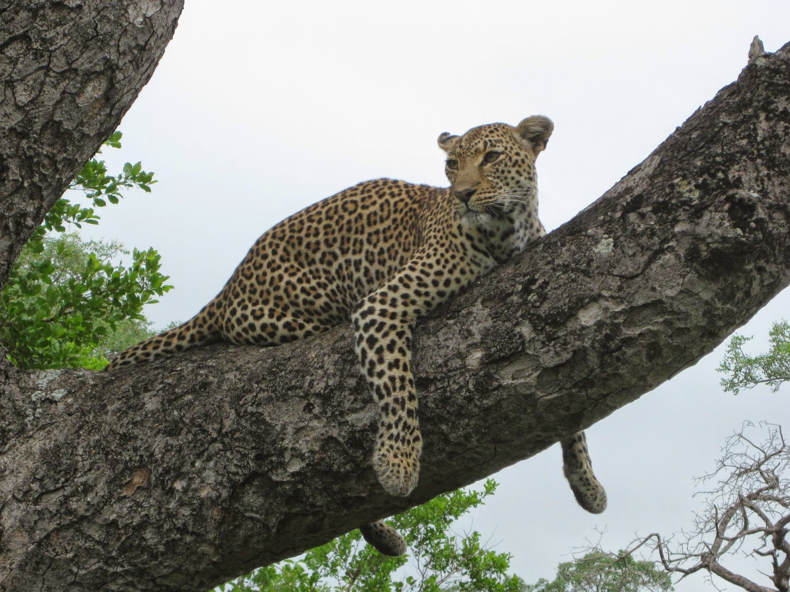 Sabi Sands - Game drive day 2: Leopard spotted in a tree