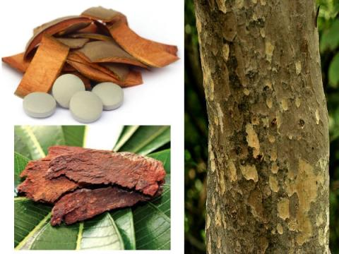 Only-the-bark-of-this-tree-can-get-rid-of-many-diseases