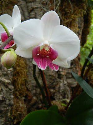 Allan Gardens Conservatory white and purple Phalaenopsis orchid by garden muses-not another Toronto gardening blog