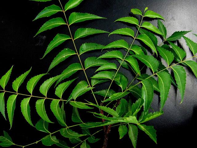 benefits of neem leaves , neem leaves , neem leaf , benefits of eating neem leaves on empty stomach