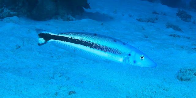 Adult of Tilefish