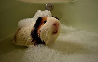 cobayo, cui, cobaya, cuyo tomando un baño