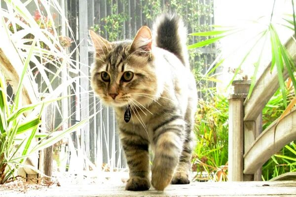 Top 10 Reason for Loving American Bobtail Cat