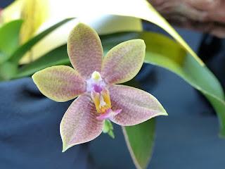 Doritaenopsis Pingtung - Phalaenopsis Pingtung