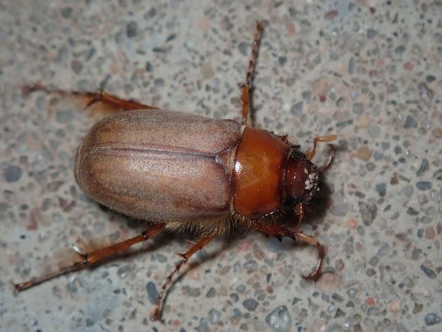 Phyllophaga sp