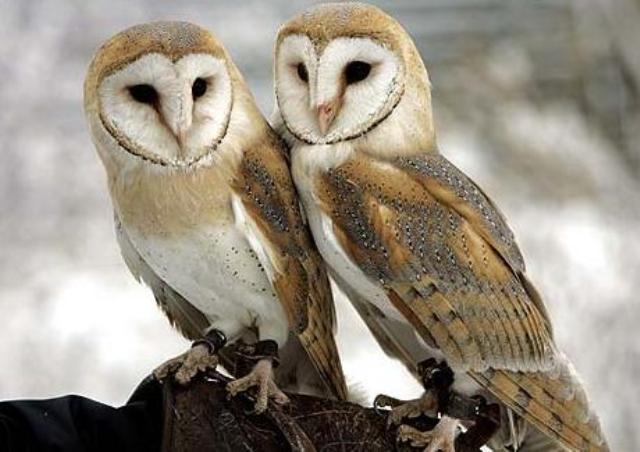 Burung Hantu Barn Hewan Paling Setia Di Dunia Pada Pasangannya