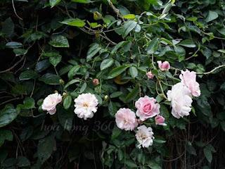 hoa hồng summer snow ra hoa chùm như tầm xuân
