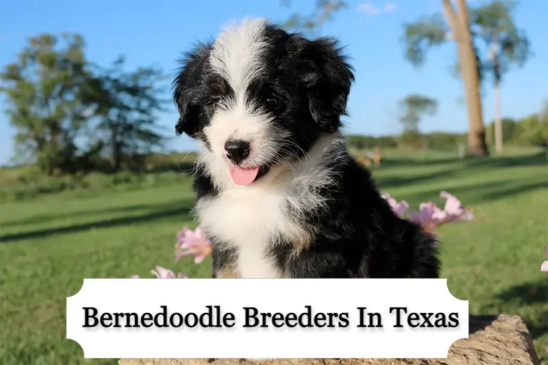 Bernedoodle Breeders in Texas