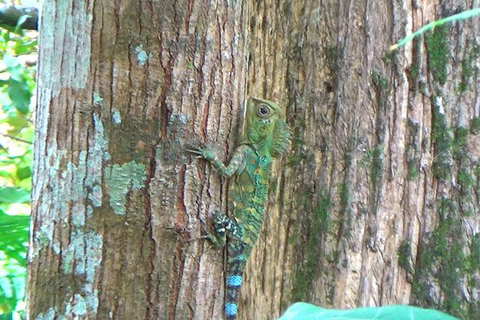 Dlium Chameleon forest dragon (Gonocephalus chamaeleontinus)