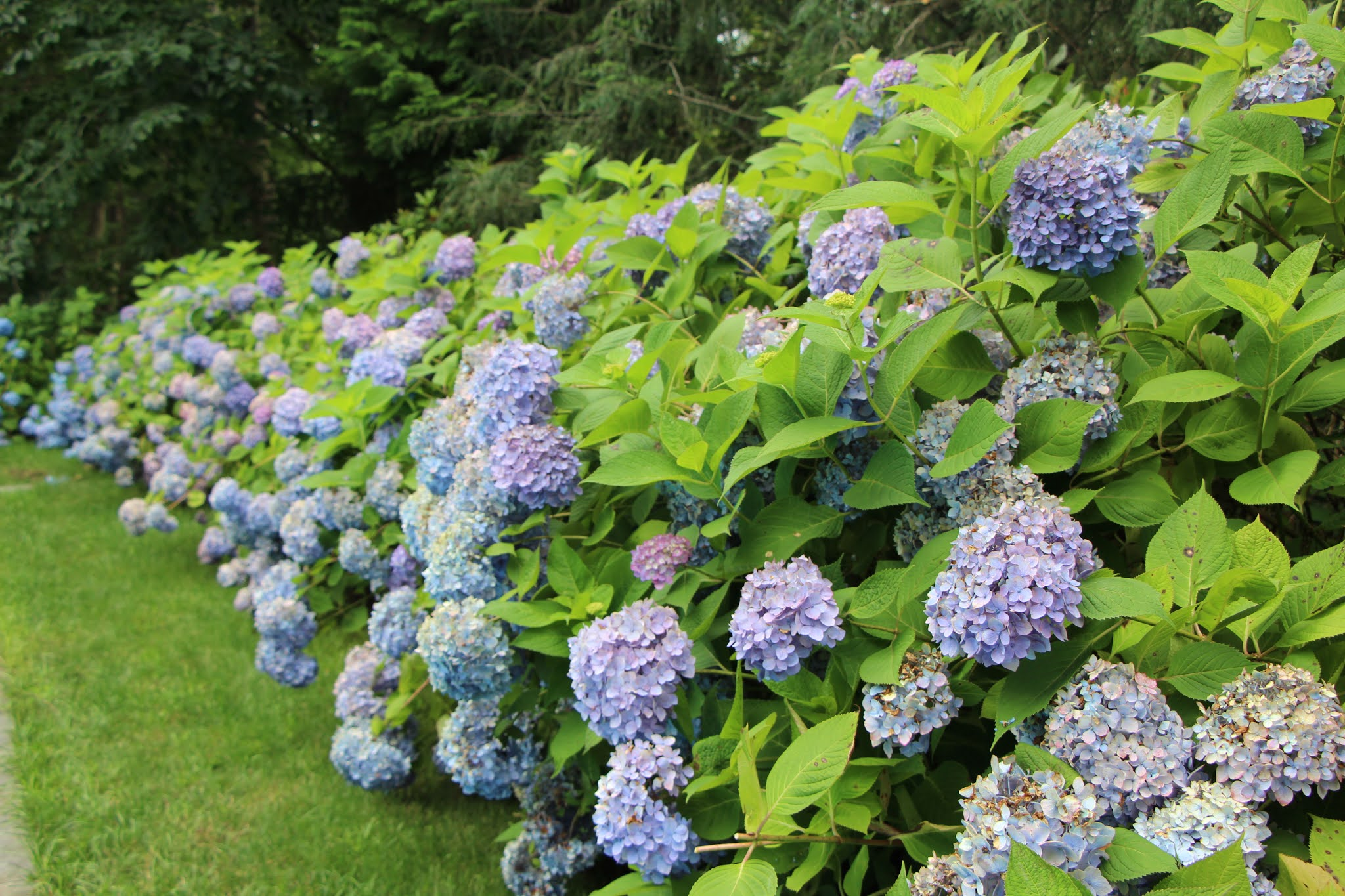 blue hydrangeas, flowers, long island, hamptons, east hampton