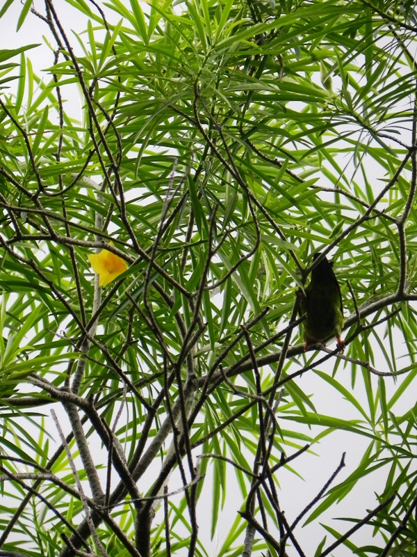 OUR PHILIPPINE TREES: The Funny-Bird-Bad-Language