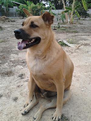 Thailändischer Strassenhund Jo