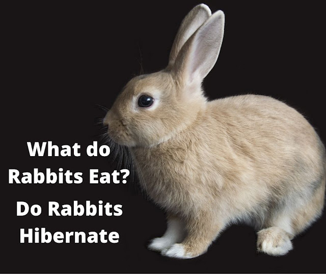What do wild rabbits eat? Do rabbits hibernate