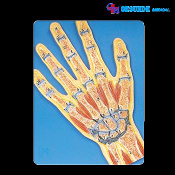 alat peraga model jaringan telapak tangan