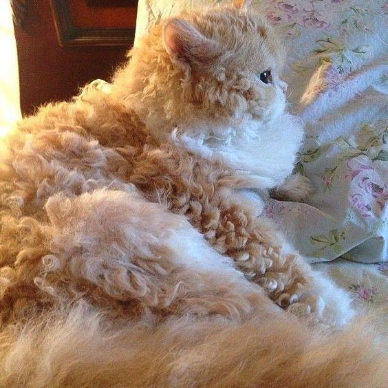 Picture of a longhaired Selkirk Rex bicolour