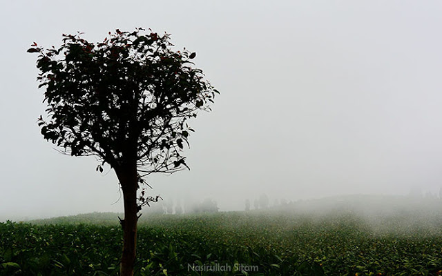 Hamparan kebun Tembakau sepanjang mata memandang