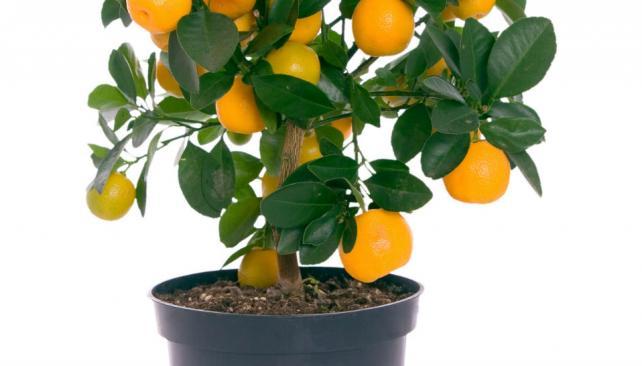 Citriline costa del azahar cultivar rboles frutales for Vivero online arboles