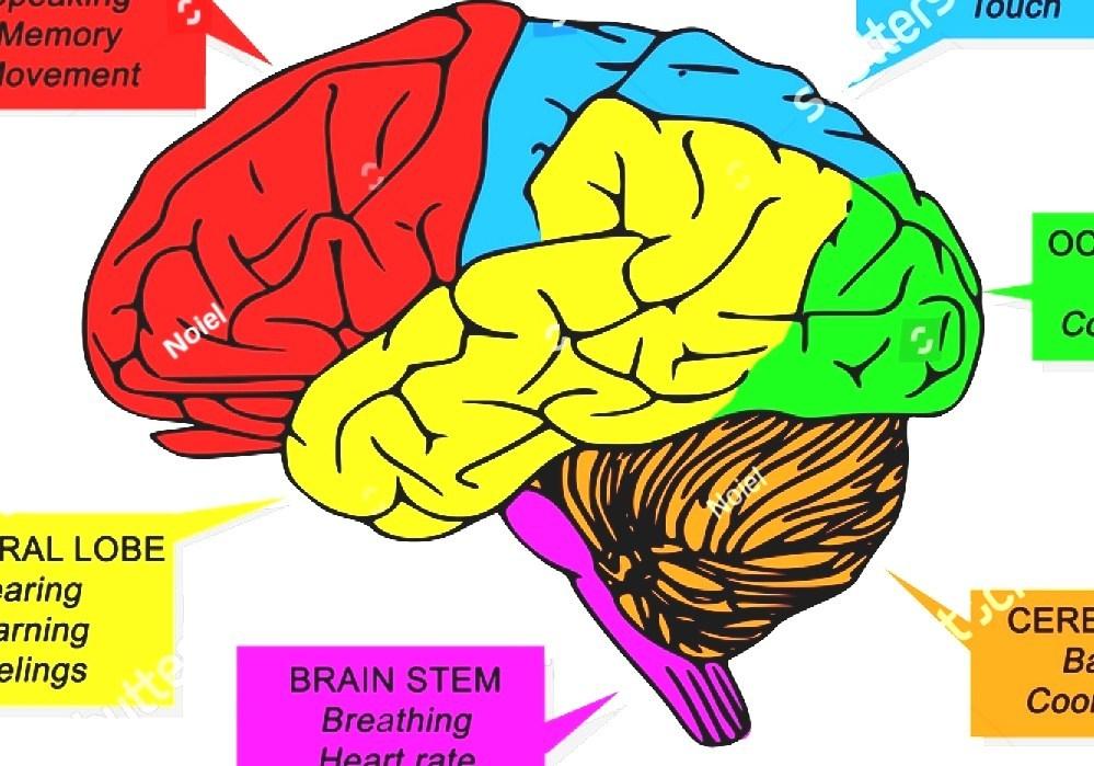 Human Brain - Function Of The Human Brain