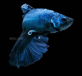 Cupang / Betta fish