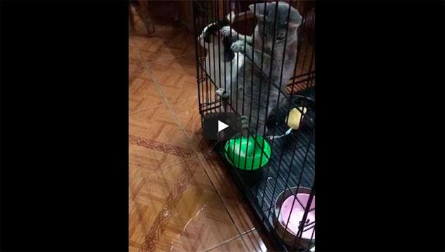 https://www.ahnegao.com.br/2018/09/quando-um-gato-esta-decidido-a-causar-tumulto-nao-ha-nada-a-fazer.html