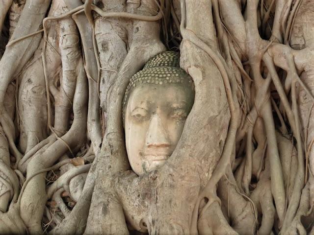 Cabeza de Buda atrapada en las ramas