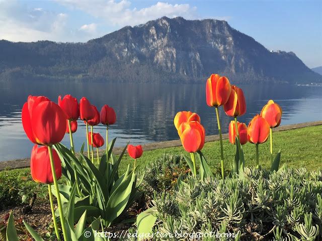 Tulpen am Vierwaldstättersee