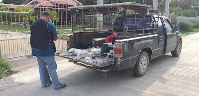 Hunde Kastration in Thailand