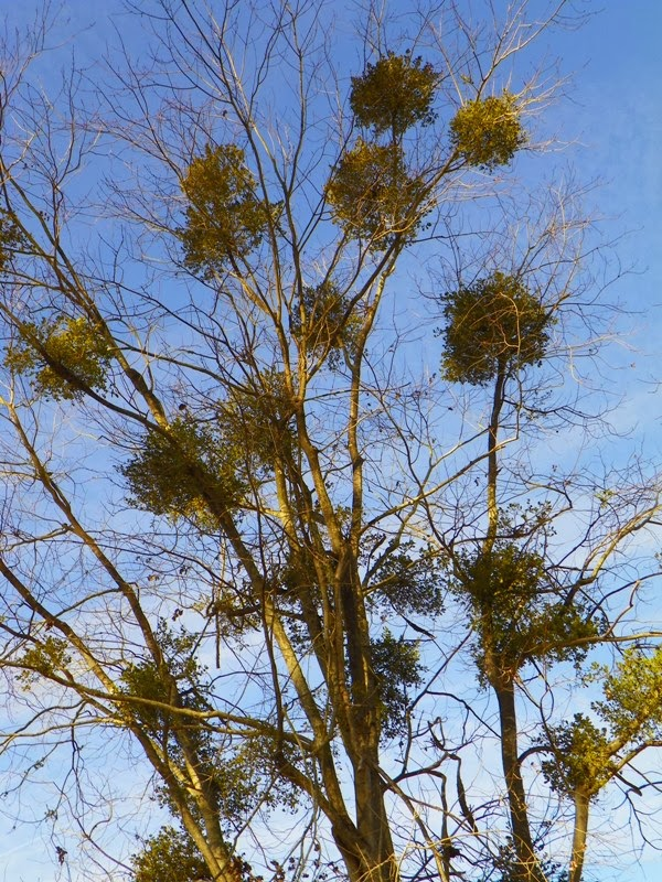 12 Things To Know About Mistletoe Plant Something Oregon