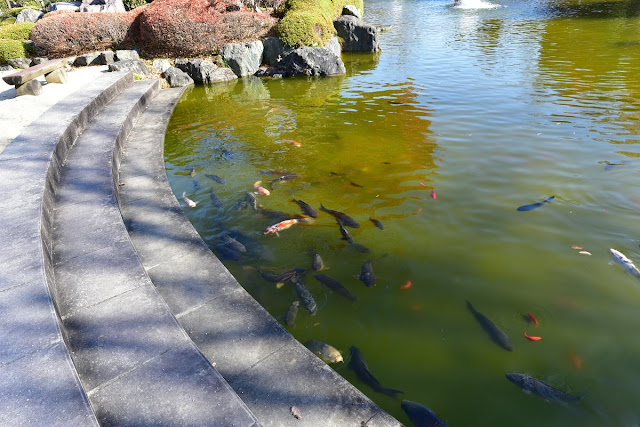 日本庭園内の池に沢山の大きな鯉が泳いでいる