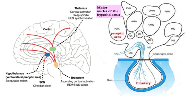 Sexually dimorphic hypothalamic nuclei