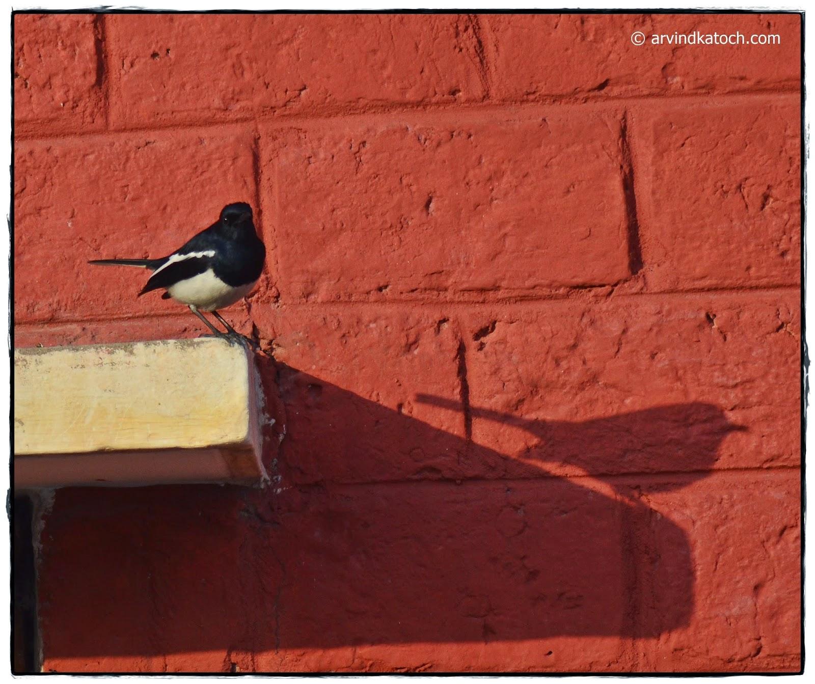 Oriental magpie-robin, Robin, Magpie, Black Bird,
