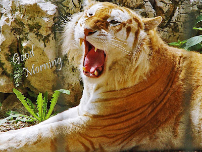 hi-good-morning-from-golden-tiger