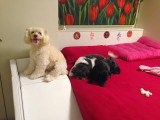 rampas para cães poodle