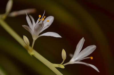Grünlilie, Spider plant, Chlorophytum Comosum, Bimore merimangë, Spider biljka, Spider растение, Spider plante, Spider taim, Hämähäkki kasvi, Plante araignée,