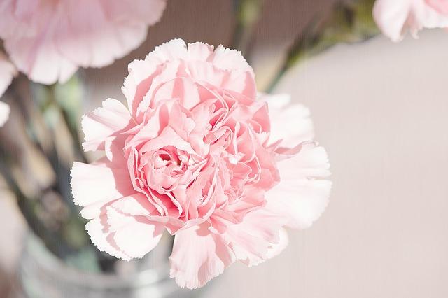 hoa cẩm chướng đẹp nhất thế giới