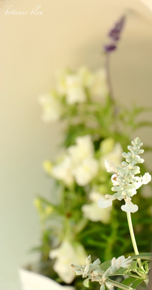 white-sage-bloom-with-bedding-plants-inside-white-metal-french-style-run