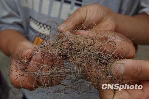 A hair sample allegedly from a Yeren.