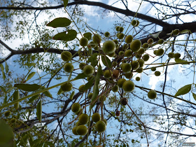 緑の小さな実がなる木