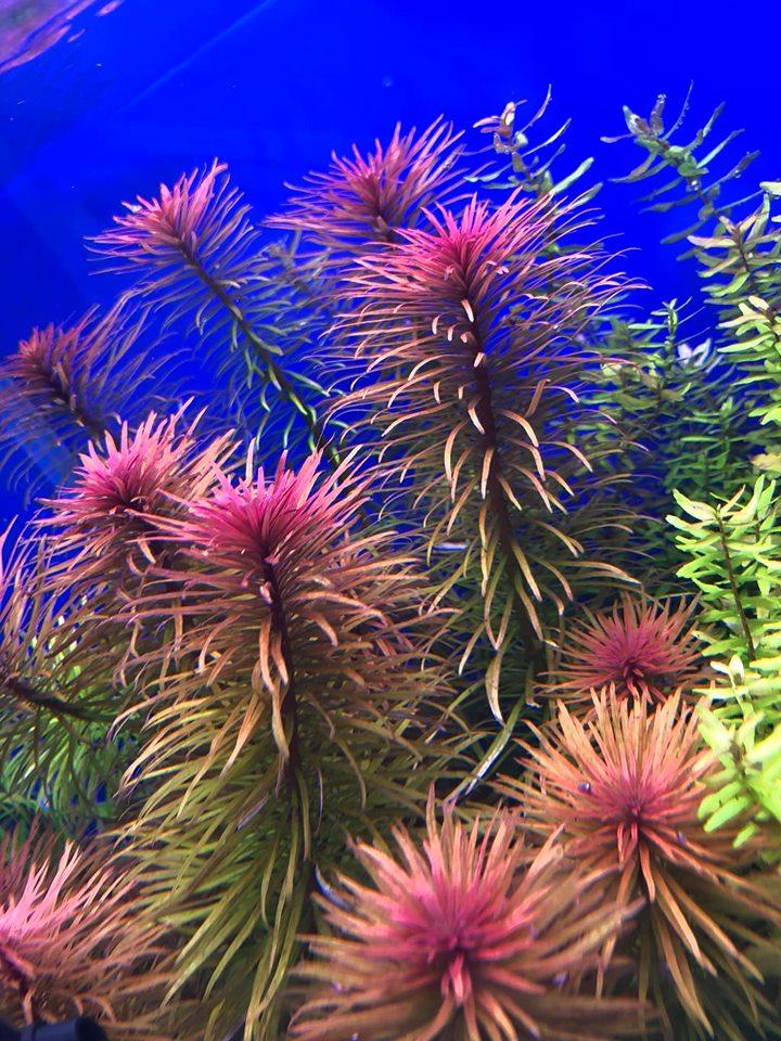 Hồng Thái Dương trong hồ thủy sinh của bạn Hồ Đào