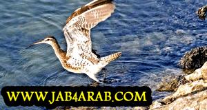 صورة طائر الكروان