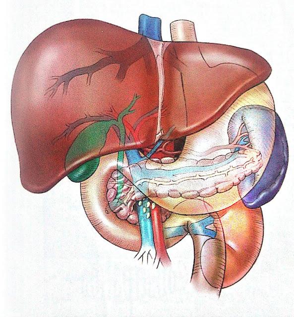 وظائف الكبد Liver functions