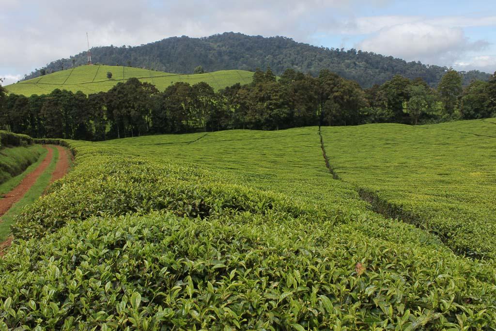 Toror Tea Factory