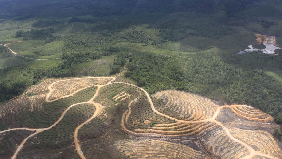 hutan Sambas - Kalbar jadi lahan sawit