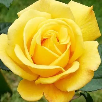 صور ورد اصفر جميل