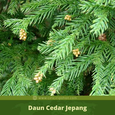Ciri Ciri Daun Cedar Jepang