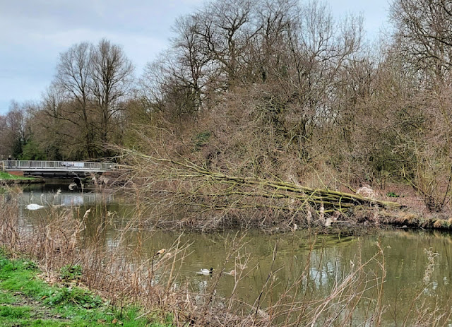 A large tree has fallen down and is hanging across the canal, it's branches in the water